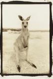 Cute Roo  Australia