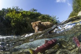 Brown Bear and Underwater Salmon  Katmai National Park  Alaska