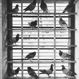 Young Pigeons in a Loft