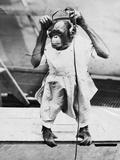 Orangutan Listens to Headphones