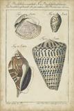 Vintage Shell Study II