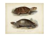 Antique Turtle Pair II Reproduction d'art par Vision Studio