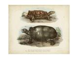 Antique Turtle Pair I Reproduction d'art par Vision Studio