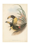 Tropical Toucans IV