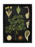 Study in Botany IV Reproduction d'art par Vision Studio