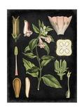 Study in Botany II Reproduction d'art par Vision Studio