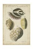 Vintage Shell Study I