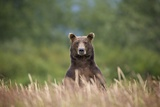 Grizzly Bear Standing over Tall Grass at Kukak Bay