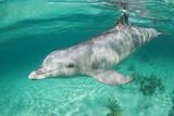 Bottlenosed Dolphin at UNEXSO Dive Site Papier Photo par Paul Souders