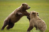 Brown Bears Sparring in Meadow at Hallo Bay