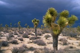 Storm Clouds over Joshua Trees