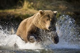 Brown Bear Running Through River at Kinak Bay