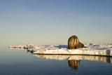 Walrus on Iceberg Near Kapp Lee in Midnight Sun Papier Photo par Paul Souders