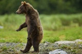 Grizzly Bear  Katmai National Park  Alaska