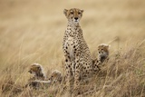Female Cheetah with Cubs in Tall Grass