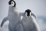 Emperor Penguin Chicks in Antarctica Papier Photo par Paul Souders
