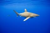 Oceanic Whitetip Sharks in Hawaii Papier Photo par Paul Souders