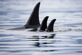 Pod of Orca Whales in Stephens Passage