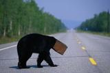 Black Bear Crossing Highway