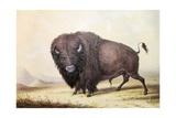 Bull Buffalo
