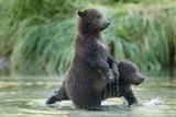 Brown Bear Cubs, Katmai National Park, Alaska Papier Photo par Paul Souders