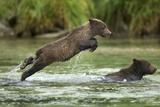 Brown Bear Cub  Katmai National Park  Alaska