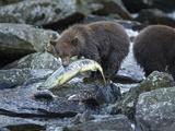 Brown Bear Cub and Huge Salmon  Katmai National Park  Alaska