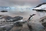 Leopard Seal Hunting Gentoo Penguin, Antarctica Papier Photo par Paul Souders