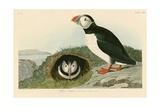 Macareux Giclée par John James Audubon