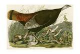 Dinde sauvage Giclée par John James Audubon