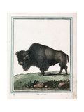 Le Bison Illustration Giclée