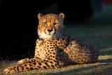 Regal Cheetah Basking in the Afternoon Sun at Umkondo Cheetah Rehabilitation Centre Near Mosselbay