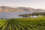 Grape Vines and Okanagan Lake at Quails Gate Winery