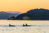 Transient Killer Whales (Orcinus Orca) Surfacing at Sunset Papier Photo par Michael Nolan