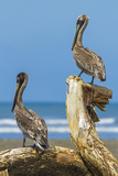Pair of Brown Pelicans (Pelecanus Occidentalis) Perched at the Nosara River Mouth Papier Photo par Rob Francis
