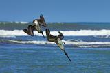 Pair of Brown Pelicans (Pelecanus Occidentalis) Dive for Fish at the Nosara River Mouth