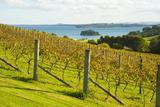 Autumn Vineyard on Waiheke Island  Auckland  North Island  New Zealand  Pacific