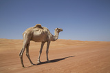 Camel in the Desert  Wahiba  Oman  Middle East