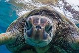 Green Sea Turtle (Chelonia Mydas) Underwater  Maui  Hawaii  United States of America  Pacific