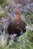 Red Grouse (Lagopus Lagopus) Male  in Heather  County Durham  England  United Kingdom  Europe