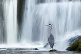 Grey Heron (Ardea Cinerea) Beneath Waterfall Ambleside  Lake District  UK  November
