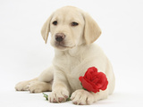 Yellow Labrador Retriever Bitch Puppy  10 Weeks  Lying with a Red Rose