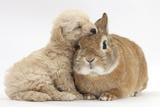 Bichon Frise Cross Yorkshire Terrier Puppy  6 Weeks  Asleep on Netherland Dwarf Cross Rabbit