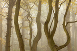Contorted Branches and Trunks of Beech Trees (Fagus Sylvatica) in Autumn Mist, Leicestershire, UK Papier Photo par Ross Hoddinott