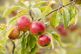 Apples (Malus Domestica) Growing in Traditional Orchard at Cotehele Nt Property  Cornwall  UK
