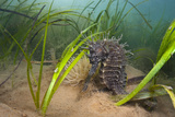 Yellow - Spiny Seahorse Female Sheltering in Meadow of Common Eelgrass, Studland Bay, Dorset, UK Papier Photo par Alex Mustard