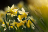 Flowering Wild Daffodils (Narcissus Pseudonarcissus) Dunsdon Wood  Dartmoor Np  England  UK  March