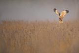 Marsh Harrier (Circus Aeruginosus) Adult Male in Flight Hunting over Reedbed at Dawn  Norfolk  UK