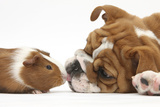 Bulldog Puppy, 11 Weeks, Face-To-Face with Guinea Pig Papier Photo par Mark Taylor