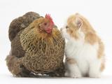 Partridge Pekin Bantam with Ginger-And-White Kitten